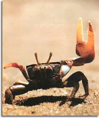 photo-crabe-martinique
